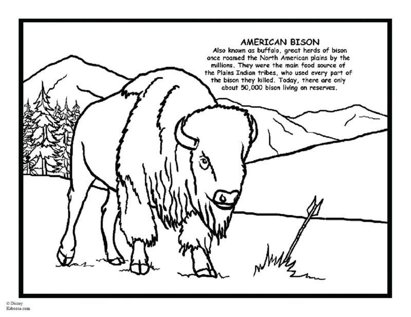 Bison d'amerique